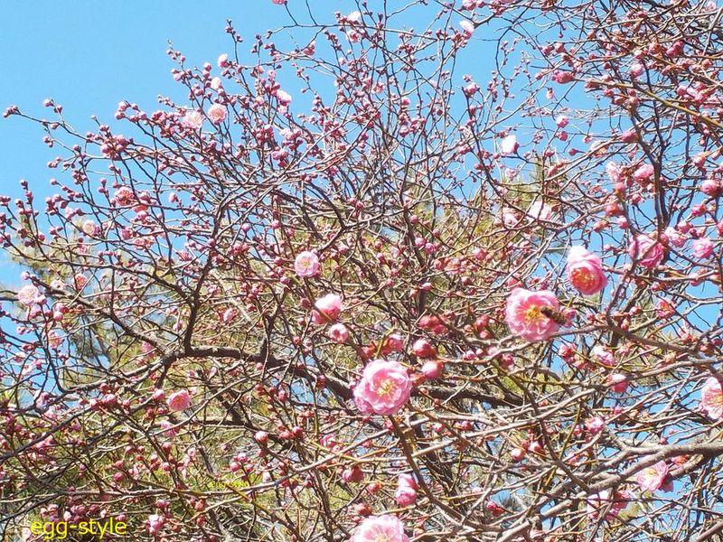 梅が咲けば春はそこまで来ている