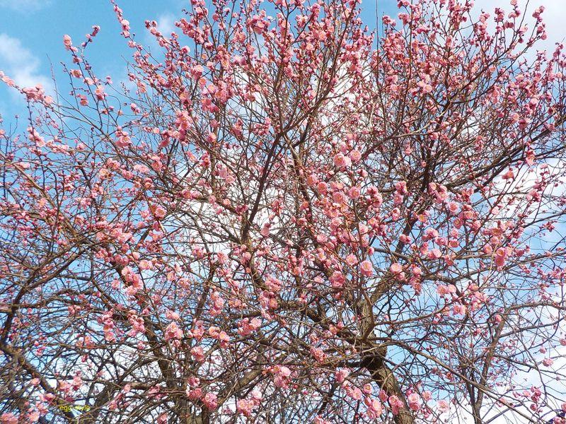 満開へ梅が加速する