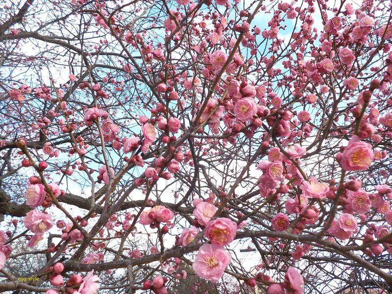 満開を目指す梅の花