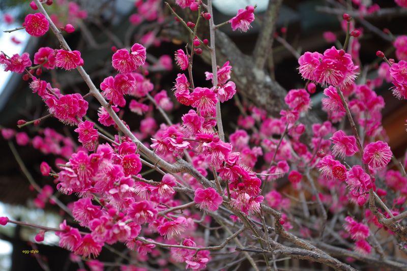 梅の花のこの色素晴らしい