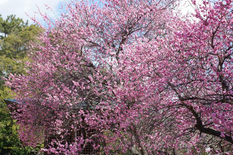 咲き誇る梅の木
