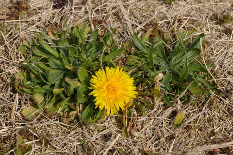 タンポポが春を告げる