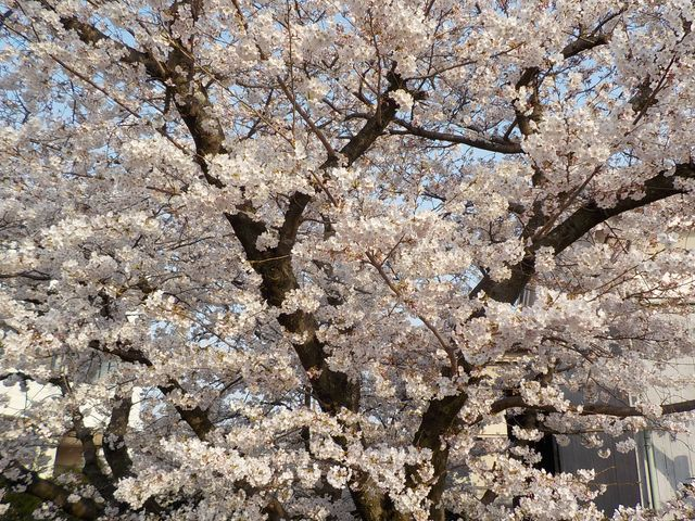 桜の満開まであと一息4/6
