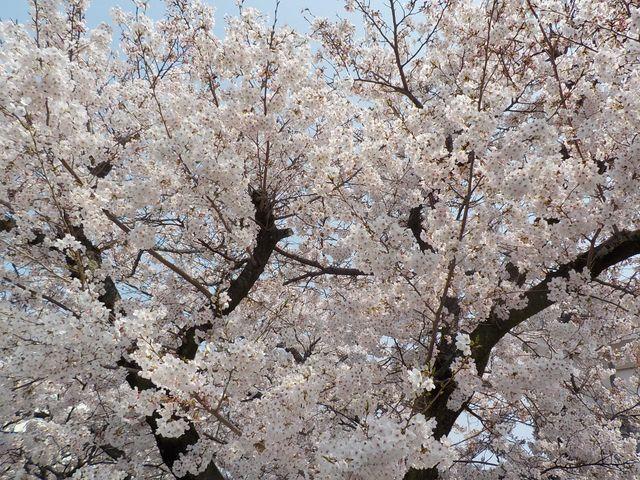 桜が見事な満開4/7