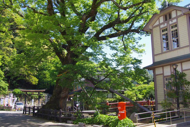 樹齢千年の大ケヤキ、根元が木の根橋