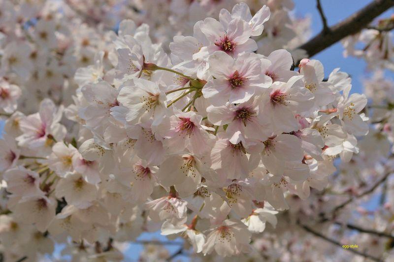 桜の花はいつもきれいだ