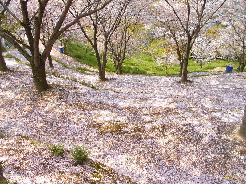 日笠山、桜の絨毯