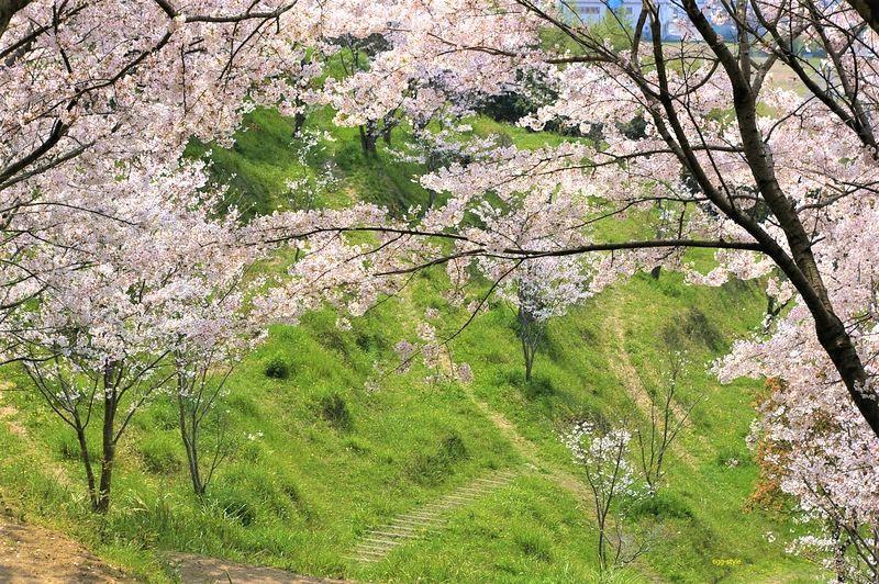 桜の向こうの里山の緑