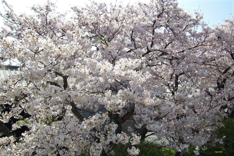 「my桜」2019年の満開