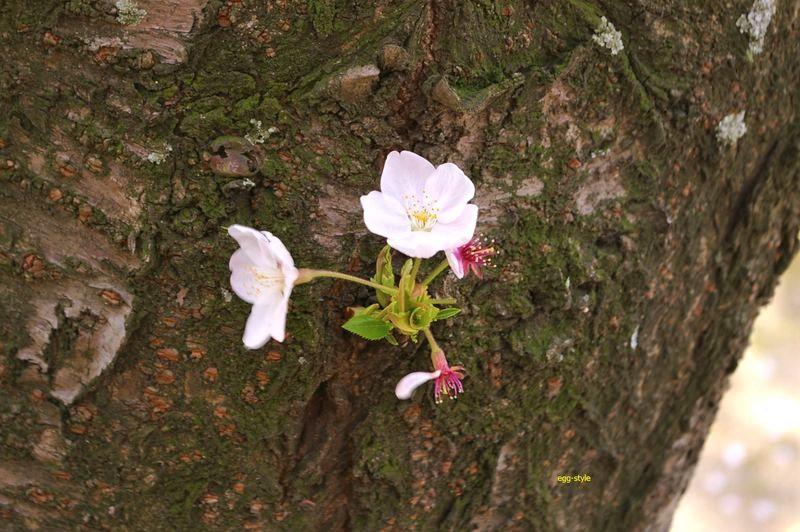 幹からわずかに芽が出て桜が咲く