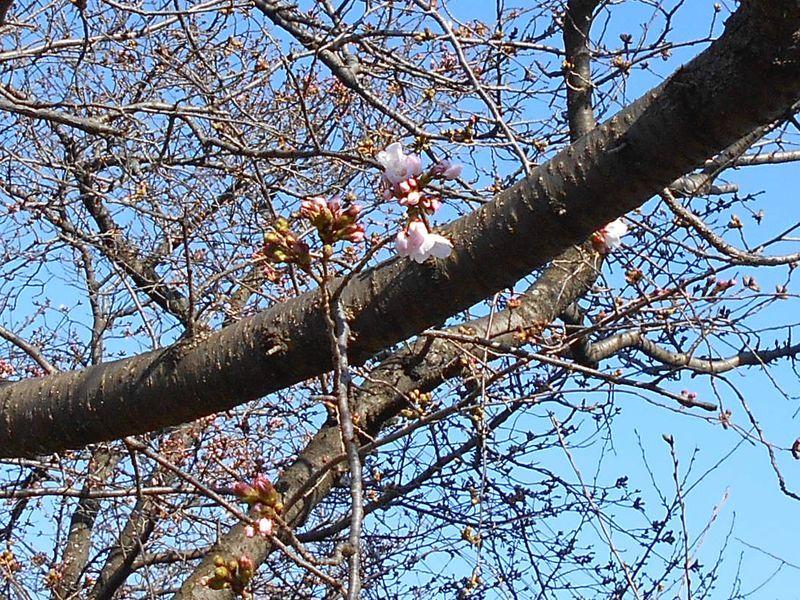 桜の2020年開花の日23日