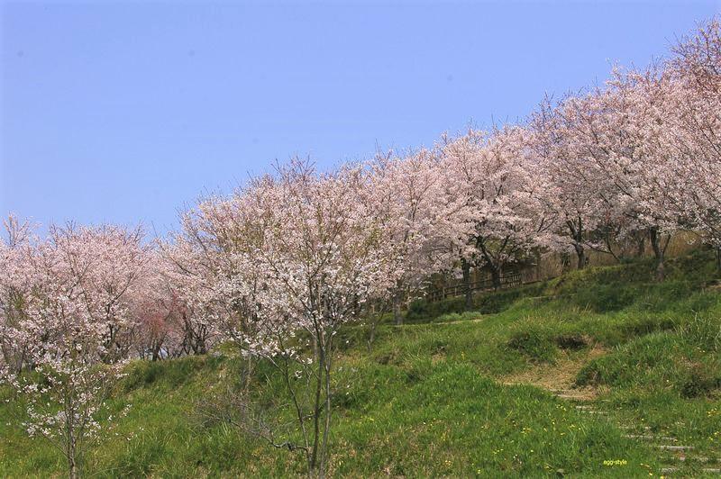 日笠山の斜面に咲く桜の林