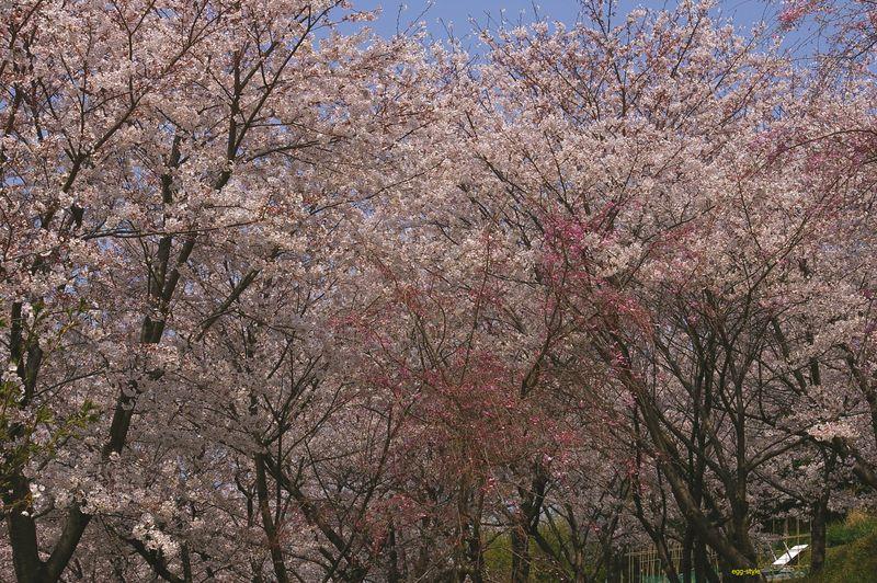 桜の林にいると温かい気持ちになれる