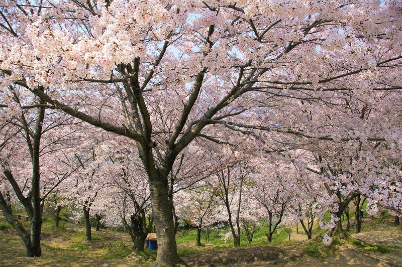 桜の林の中で桜色に包まれる
