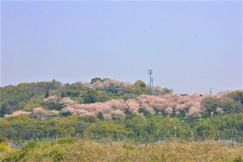 日笠山の桜は満開、少し春霞