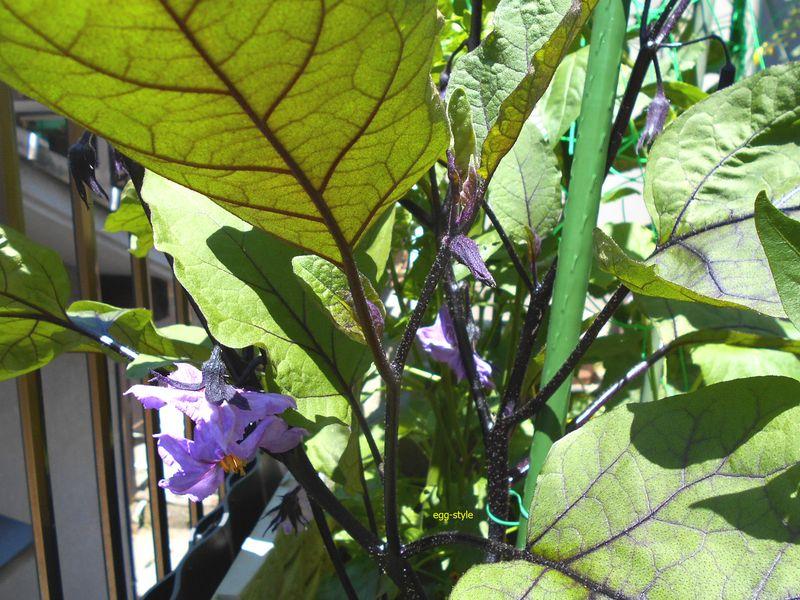 茄子が花をつけた。この色合いは、まことにきれいだ