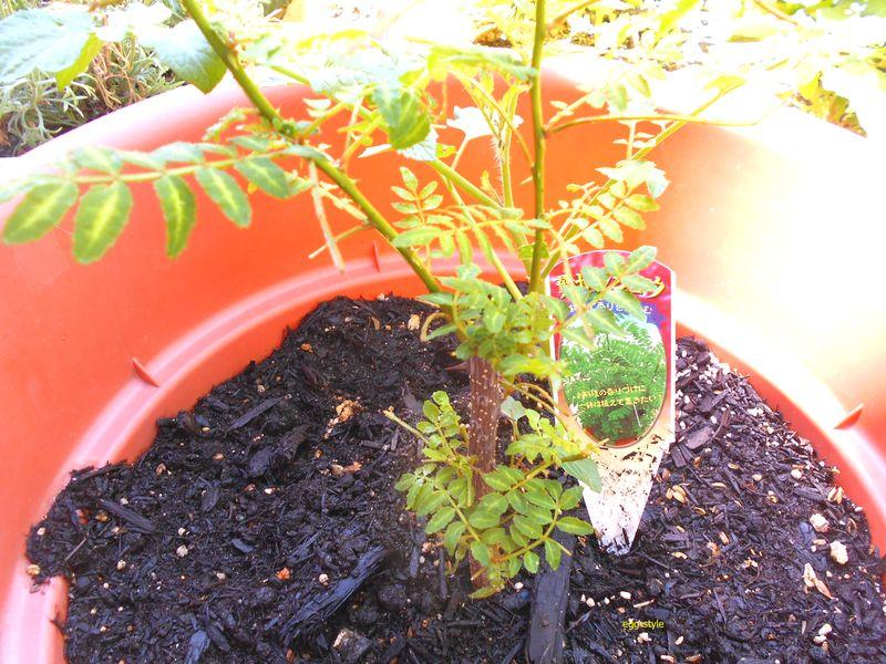 山椒の葉、よくぞ復活してくれた。憎きアゲハの幼虫