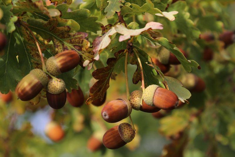 byPixabay acorns-3695865