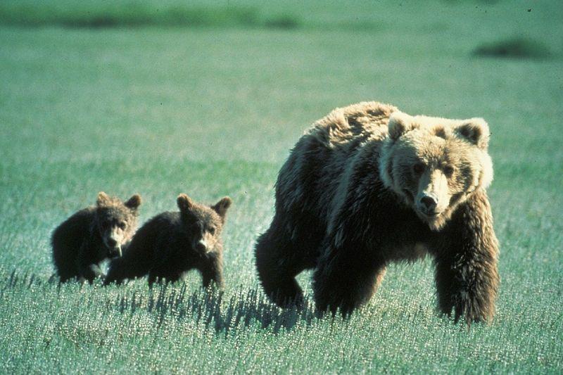 byPixabay bears-718382