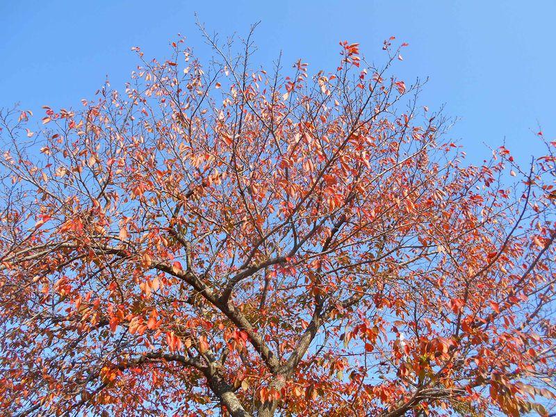 快晴の空に赤い桜の葉は秋の色