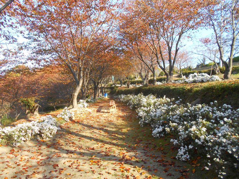 桜の木の下にノジギクが育てられている