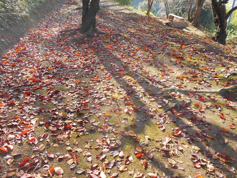 桜の落葉の絨毯 春は桜の花びらで桜色の絨毯になった