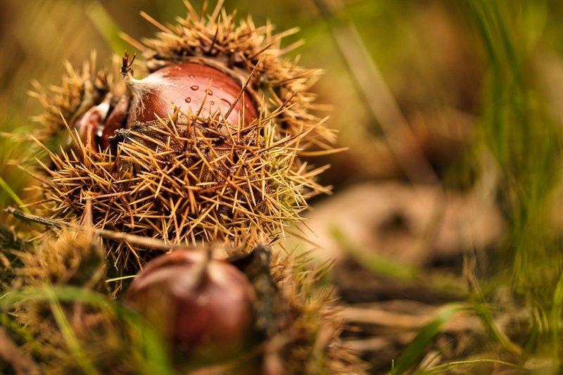 byPixabay chestnut-5683473
