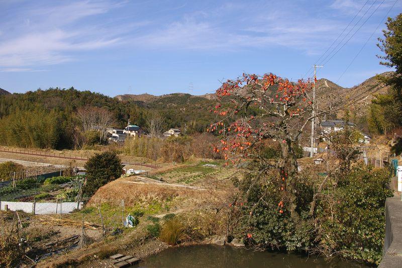 里山の風景のひとつ 右は山 池にたんぼに畑 アクセントは柿の実