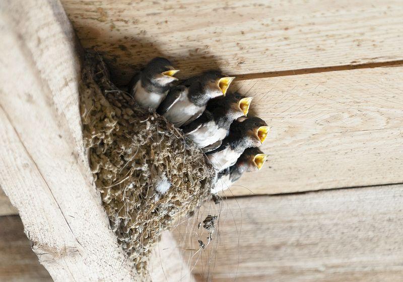 byPixabay swallows-1367214
