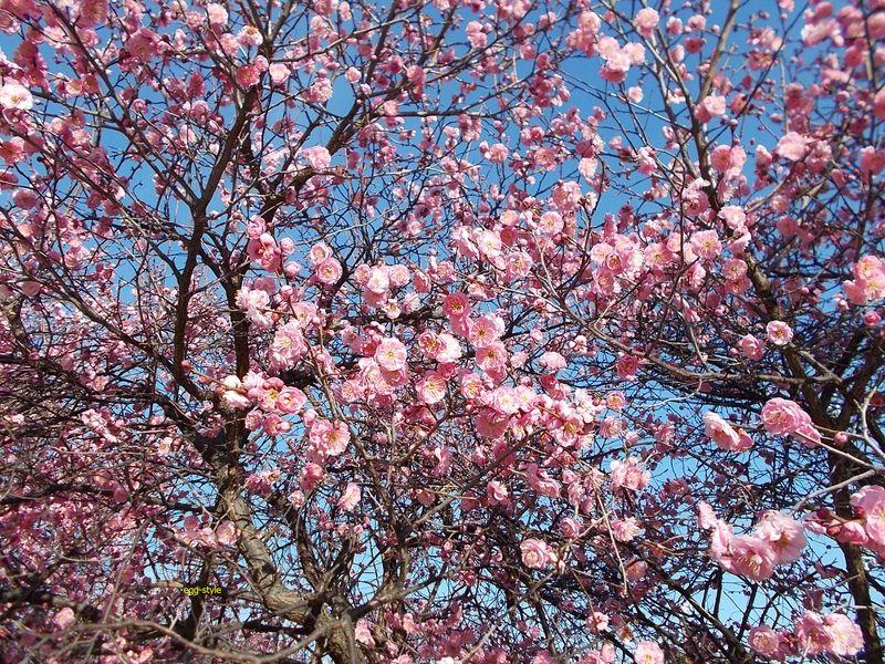 2月に入り、日差しに誘われたようにポンポン咲き始めた 2/4