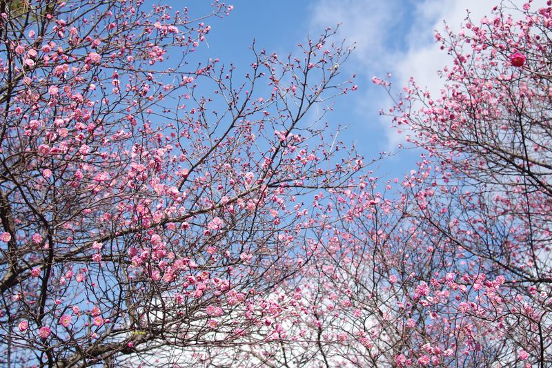 1月下旬、咲き始めましたが、つぼみもまだまだ多い 1/29