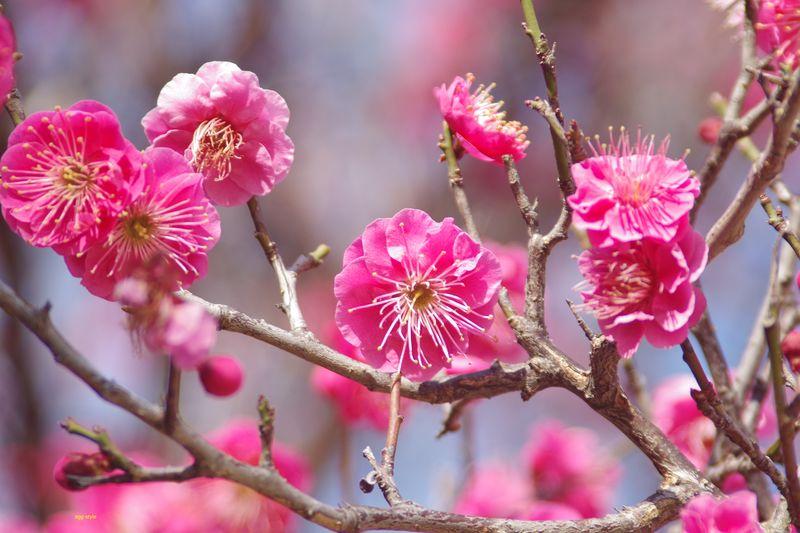 御厨神社の梅は 今年もきれいに咲き始めた