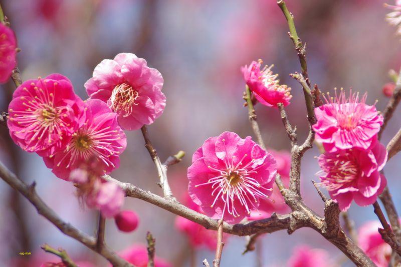 この梅の花は、肴になります 2/9