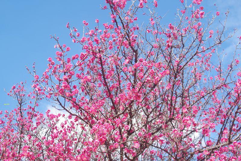 色合いが違う梅の木も、その花は冬の青空に引き立ちます 2/9