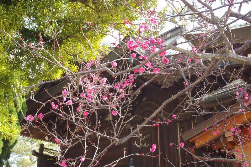 大きくない木ですが、お気に入りの1本もちらほらと咲き始め 1/29