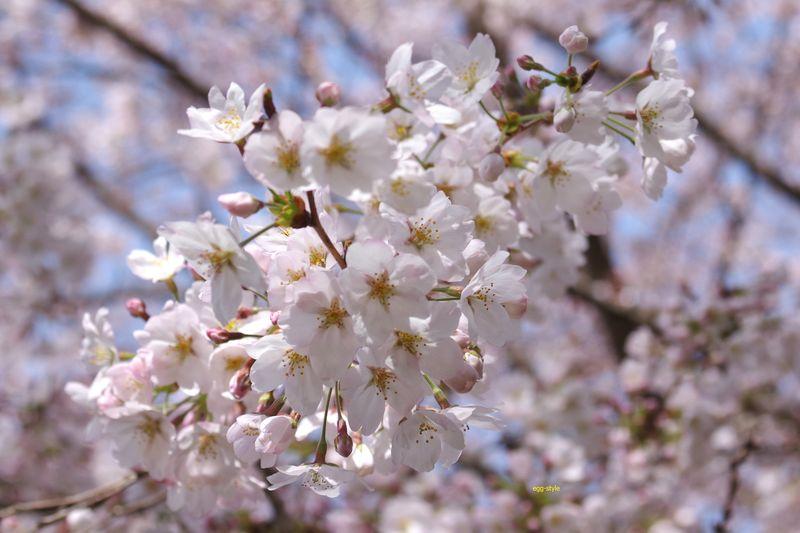 梅は木を見て桜は花を見ると どなたかがおっしゃった