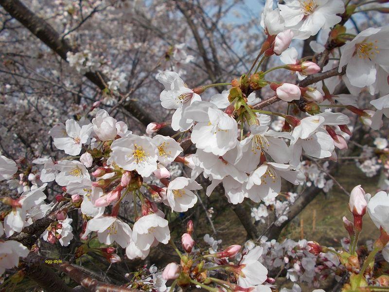 桜の花は、清楚な美しさがあり、日本の景色だと思う