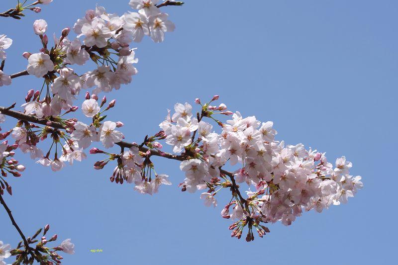 雲ひとつない春の青空に浮かび上がる桜の花