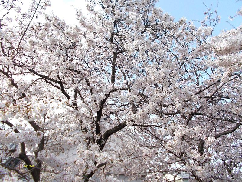 my桜 私の標準を見せてくれる公民館前の満開に近い見事さ