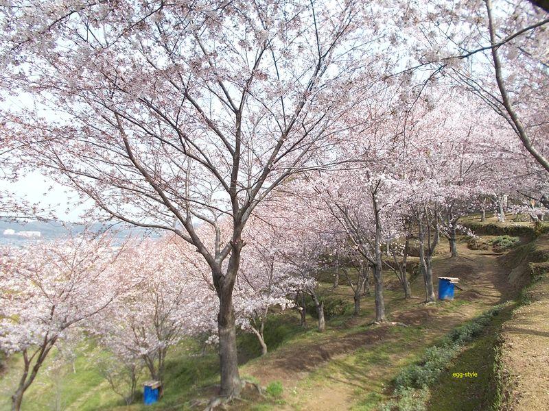 清々と手入れをされている山腹に林立する桜