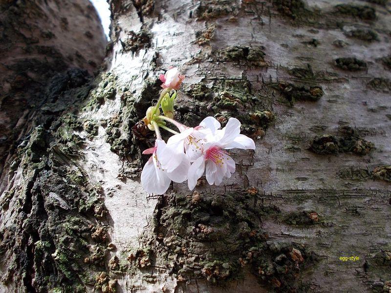 いくつかの幹に、こんな風にいきなり花が咲いていて、実にかわいらしい