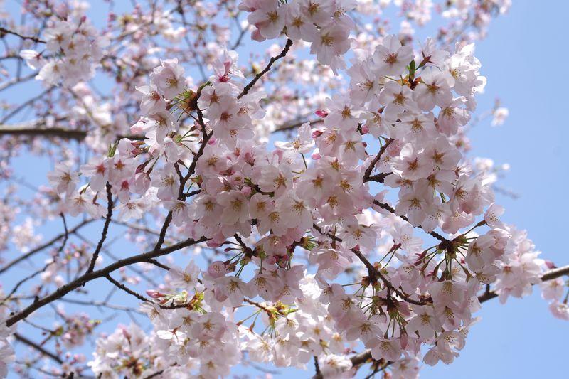 この ほんのりとした桜色は、何とも言えなくきれいな色合いだ