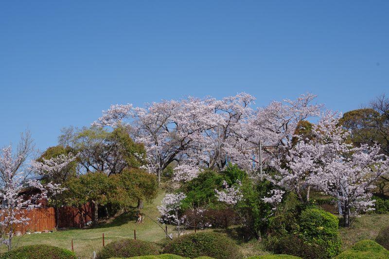 山頂付近の桜は少なく、ふーんという感じです
