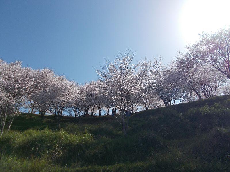 朝日に輝き、桜の木々とは思えない違った美しさがある