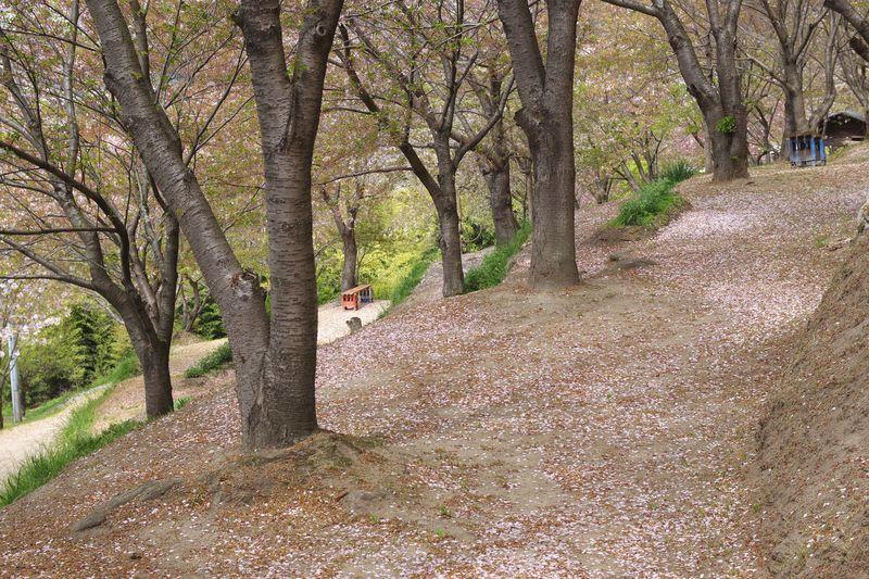地面の色は見えずに桜色の絨毯になるはずが、思惑外れ