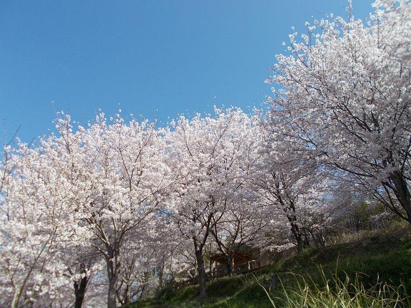 桜の群れに近づいていく