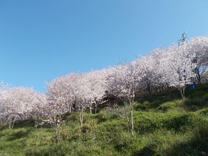 大塩ハイキングコース入口から登り、空が開けると桜の群れが見える