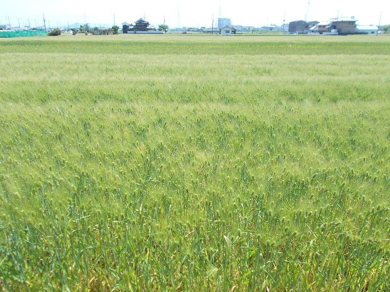 麦畑が広がり、気持ちが清々する 収穫が近づけば さらに色づく