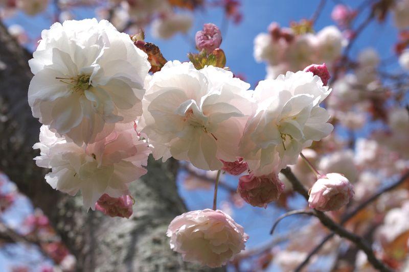 白ではなく、桜色だ。ほんのり赤が混じる白