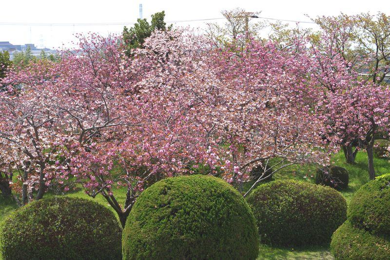 満開を迎えようとする八重桜